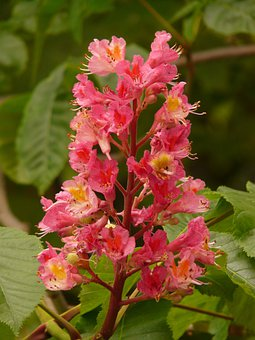 Flesh Red Horse Chestnut, Inflorescence