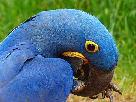 Parrot, Blauara, Hyazinth-ara, Anodorhynchus, Bird