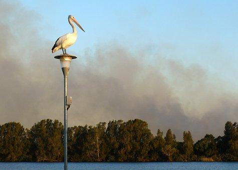 Pelican, Australian Pelican, Pelecanus Conspicillatus