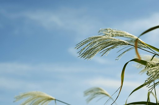 Silver Grass, Autumn, Plants, Sky, Nature, Silver Pool