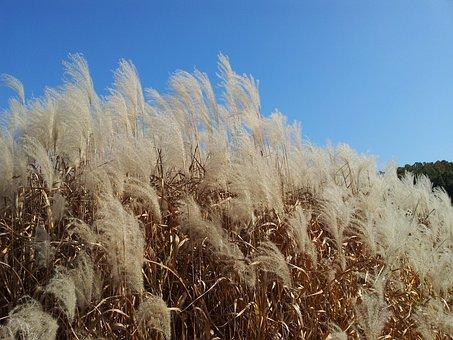 Daechung, Autumn, Silver Grass