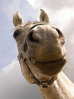 Horse, Snout, Nose Horse, White, Sky, Head