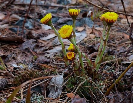Coltsfoot, First Spring Flowers, Yellow Flowers, Spring