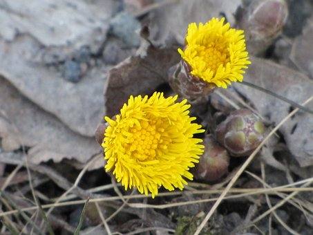 Flower, Yellow, Coltsfoot, Spring, Sign Of Spring
