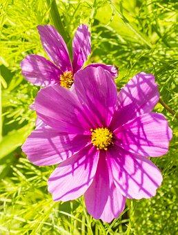 Kosméâ, Cosmos Flower, Flowers, Sun, Summer, Nature