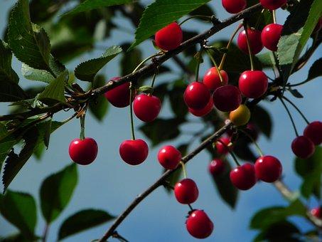 Cherries, Sour Cherries, Morello, Fruit, Red, Summer