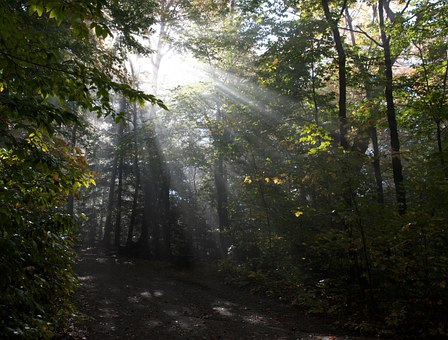Forest, Trees, Sun, Shining, Through, Foliage, Rays