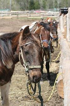 Horses, Trail Ride, Trail, Ride, Nature, Animal