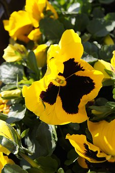Pansy, Garden Pansy, Yellow Pansy, Two Year Plant