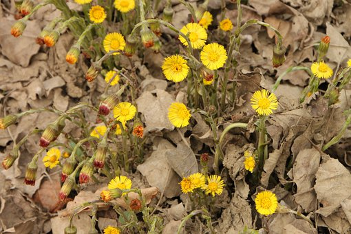 Angiosperms, Coltsfoot, Edge, Flowers, River, Water