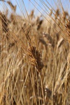 Ear, Wheat, Cornfield, Durum Wheat, Mediterranean