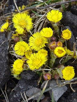 Coltsfoot, Spring, Yellow, Health, Herb
