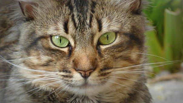 Cat, Feline, Look, Eyes, Pet, Animal, Brindle, Wild