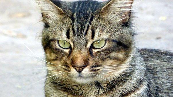 Cat, Look, Feline Look, Pet, Feline, Animal, Animals