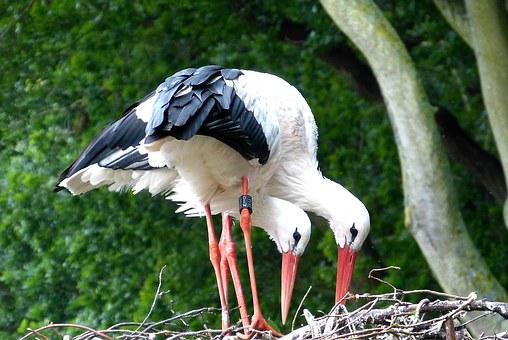 Storks, Stork, Bird, Nature, Nest, Rattle Stork, Fly