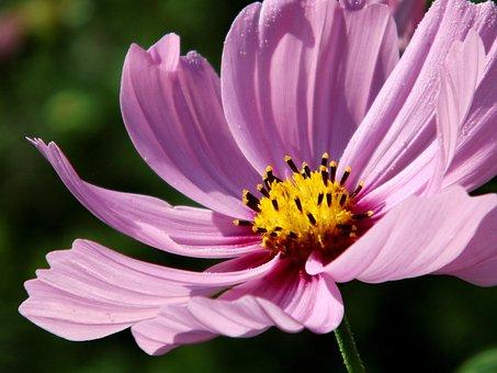 Kosmee, Blossom, Bloom, Pink, Cosmos, Light Purple