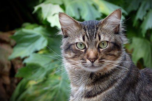 Cat, Feline, Feline Look, Cat Eyes, Pet, Brindle, Look