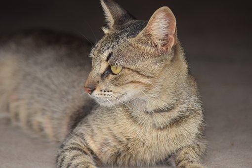 Cat, Brindle, Feline, Pet, Animal, Animals, Look, Cute