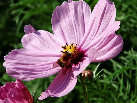 Kosmee, Blossom, Bloom, Flower, Pink, Cosmea, Cosmos