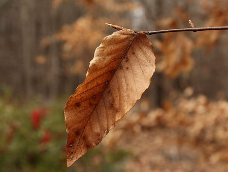 Beech Leaf, Winter Leaf, Dried Leaves, Petiole, Margin