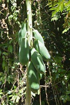 Papaya, Fruit, Exotic, Papaya Tree, Thailand