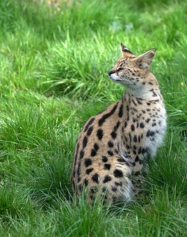 Feline, Disgust, Spotted