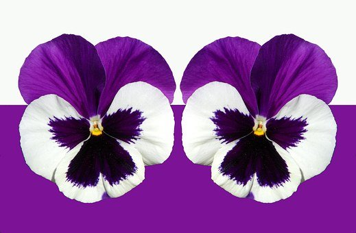 Pansy, Violet, Purple, Shining, Blossom, Bloom, Flower