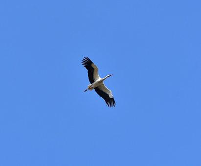 Stork, Sky, Fly, Black White, Bill, Rattle Stork