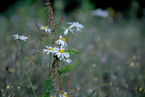 Margin Renon, Daisy, Summer, Green, Flowers, Nature