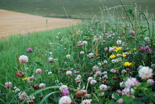 Clover, Field Margin, Wildlife, Insects, Bee, Grass
