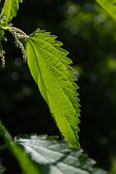 Stinging Nettle, Leaves, Burning Hair, Pink, Plant