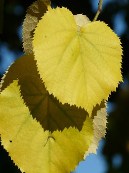 Lipovina, Leaves, Yellow, Coloring, Fall Color, Linde