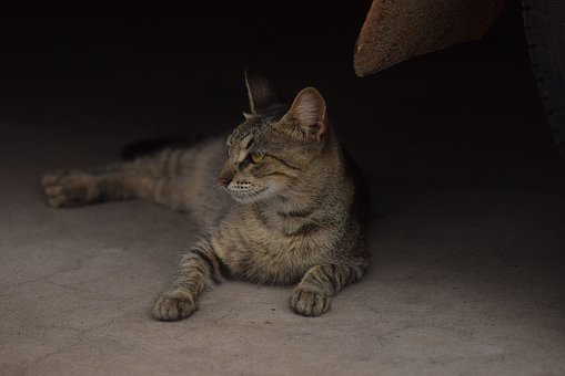 Cat Lying, Low Self, Lying Cat, Profile, Brindle, Look
