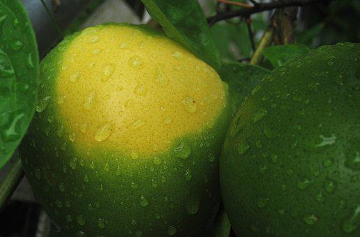 Mature Expectant Oranges, Maturation, Green Yellow