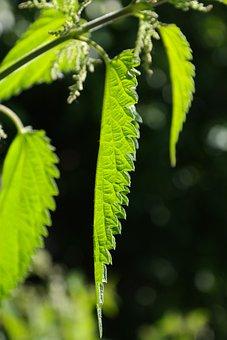 Nettle Leaves, Leaves, Stinging Nettle, Shine Through