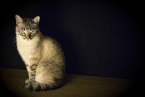 Cat, Pet, Look, Feline, Animal, Blue Eyes, Romeo, Pact