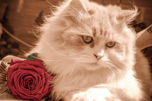 Kitten, Cat, Rose, Pet, Feline, Kitty, Brown Cat