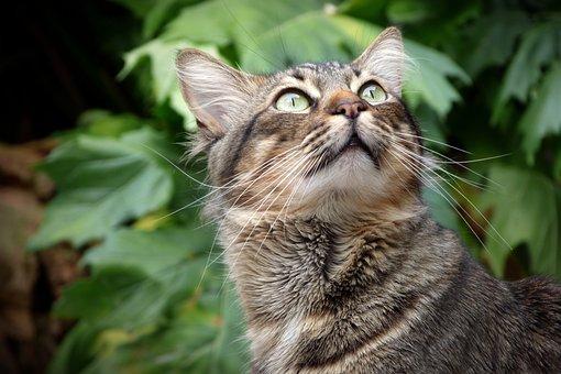 Cat, Look, Eyes, Pet, Feline, Feline Look, Cat Face