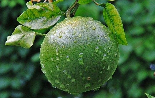 Unripe Orange, Raindrop, Green, Garden, Plantation