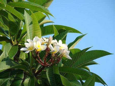 Plumeria, Fragrant, Tropical, White, Bloom, Blooming
