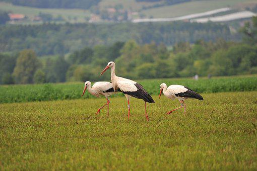Storks, Bird, Stork, Birds, Animals, Rattle Stork
