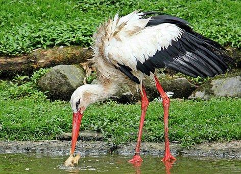 Stork, Bird, Animal, Plumage, Rattle Stork, Nature