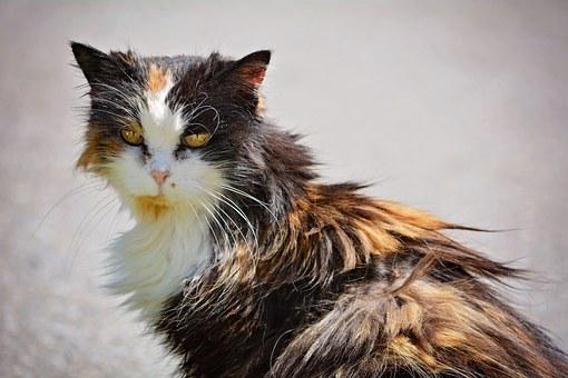 Cat, Domestic Cat, Pet, Animal, Three Coloured, Scrubby