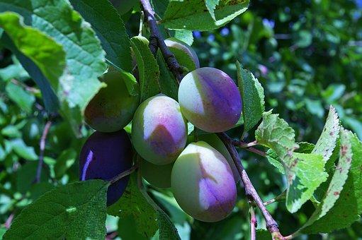 Plums, Immature, Plum Tree, Fruit, Green, Stone Fruit