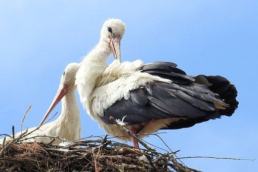 Storks, Stork Couple, Storchennest, Birds, Rattle Stork