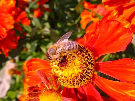 Sun Brews, Helenium, Bee, Honey Bee, Fiesta