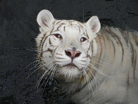Tiger, Tiger Albino, Feline, Carnivorous, Nature