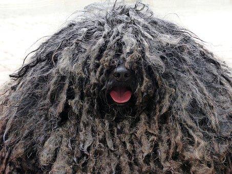 Dog, Rasta Braids, Shaggy, Black, Nose, Tongue