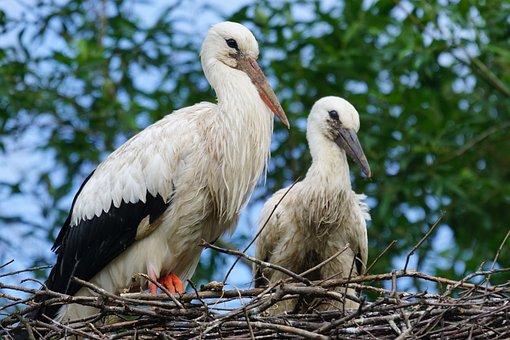 Stork, Adebar, Rattle Stork, White Stork, Young Animal
