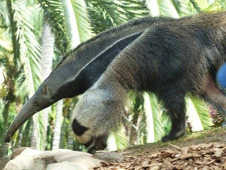Giant Anteater, Animal, Myrmecophaga Tridactyla